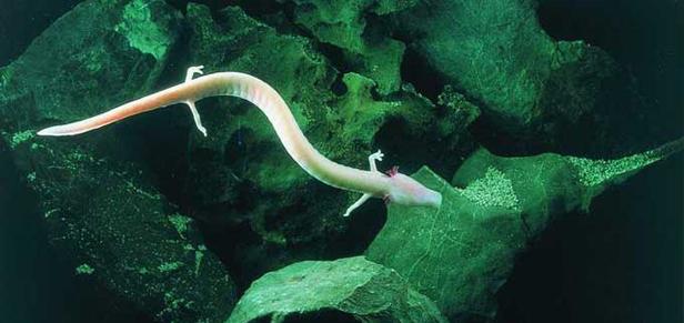 ribica Postojnska jama   najveća pećina u Europi