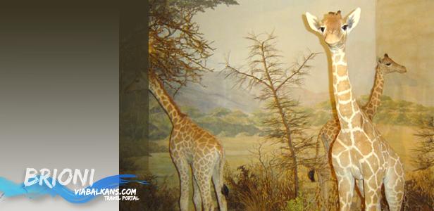 Žirafe na Brionima