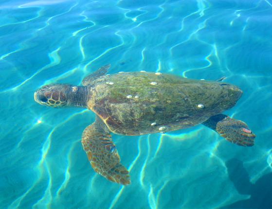 careta careta zakynthos Zakintos, Brčkanje sa kornjačama